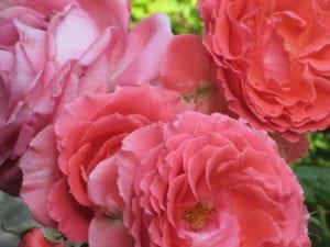 Coral Roses 2012